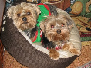 My little yorkies
